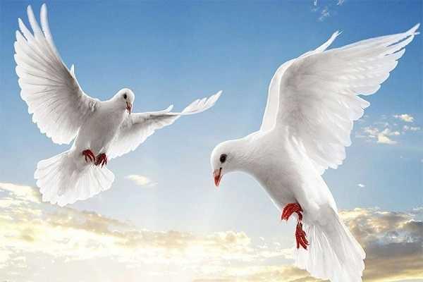 Điềm báo trong giấc mơ thấy chim bồ câu