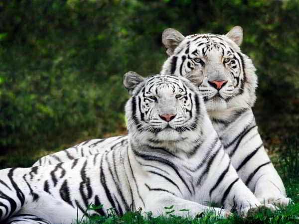 Mơ thấy hổ đánh con gì trúng lớn?