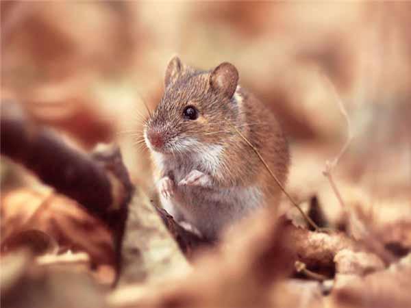 Nằm mơ thấy chuột là điềm báo lành hay dữ?