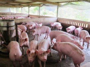 Nằm mơ thấy lợn đánh con gì may mắn có ý nghĩa gì